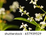 Small photo of Flowers of lemon verbena (Aloysia citrodora), an herb and garden plant from South America.