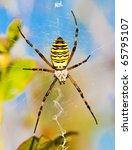 Wasp Spider In The Garden