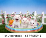 Small photo of Three fluffy white kittens sitting in a plastic blow up pool with colorful balls on green grass, white picket fence background with pink and white flowers, blue sky. 1 kitten with mouth open laughing