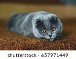Gray Cat Is Sad. Little Depth...