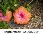 orange suffused with carmine...   Shutterstock . vector #658002919