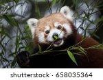 western red panda  ailurus... | Shutterstock . vector #658035364