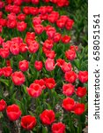 beautiful red tulips in nature | Shutterstock . vector #658051561