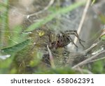 Small photo of Labyrinth Spider - Agalena labrynthica