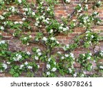 Espalier Fruit Tree Trained To...