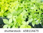 gynostemma pentaphyllum  tea... | Shutterstock . vector #658114675