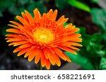 gerbera flower   gerbera daisy | Shutterstock . vector #658221691