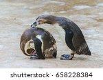 humboldt penguins  funny... | Shutterstock . vector #658228384