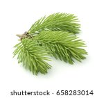 Young Sprig Of Spruce Isolated...