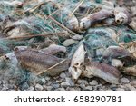 lot of dead fish entangled in a ... | Shutterstock . vector #658290781