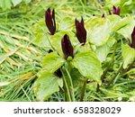 Small photo of crimson red flowers of Trillium sessile