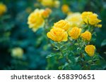 Stock photo beautiful bush of yellow roses in a spring garden rose garden 658390651