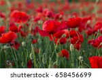flowers red poppies blossom on... | Shutterstock . vector #658456699