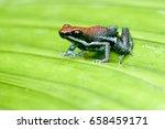Small photo of Allobates zaparo (Sanguine Poison-arrow Frog, Sanguine Poison Frog, Zaparo's Poison Frog)
