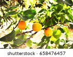 fresh ripped apricots on a tree ... | Shutterstock . vector #658476457