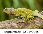 Small photo of Red-throated wood lizard (Enyalioides rubrigularis)