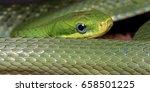 Green Bush Rat Snake  Gonyosom...