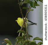 Small photo of An American Goldfinch (Spinus tristis) clings to a Crepe Myrtle branch in Taneytown Maryland USA. This left profile view provides a view of the breast and undersides.