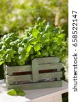 Fresh Basil Herbs In Rustic...