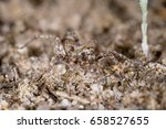 Small photo of Wolf spider (Lycosidae) in nature