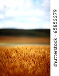 An abstract image of field of wheat and barley on a rural farm. - stock photo