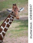 reticulated giraffe  giraffa... | Shutterstock . vector #658548547
