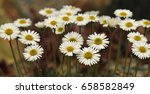 macro photo of a white daisy... | Shutterstock . vector #658582849