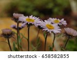 macro photo of a lavender daisy ... | Shutterstock . vector #658582855