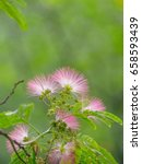 Small photo of Summer flowers series, Albizia julibrissin, silk tree.