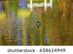 European Coot Duck River...