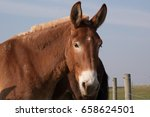 Closeup of a mule with ears...