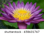 Purple Lotus Flower.