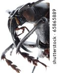 insect longhorn beetle head macro isolated on white - stock photo
