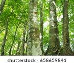 beech wood | Shutterstock . vector #658659841