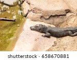 Chinese Alligator...