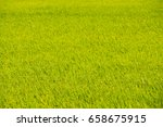 a field of green rice on a... | Shutterstock . vector #658675915