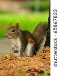 A Tree Squirrel   Eastern Gray...
