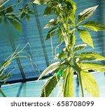 achocha cyclanthera pedata in... | Shutterstock . vector #658708099