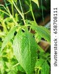 achocha cyclanthera pedata in... | Shutterstock . vector #658708111
