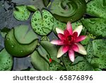 Pond Scenery With Water Lilly