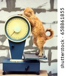 Cat Standing On The Scales In...