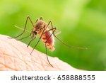 Aedes Aegypti Mosquito. Close...