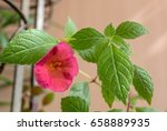 Small photo of Peach achimenes flower. Achimenes has a multitude of common names such as magic flowers, widow's tears, Cupid's bower, or hot water plant.