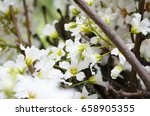 white flowers on the tree in... | Shutterstock . vector #658905355