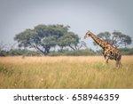 a giraffe walking in the grass... | Shutterstock . vector #658946359