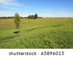 Small Birch On Summer Field