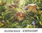 Small photo of Boletus or porcini fungi mushrooms in moss, nature seasonal background in sunlight