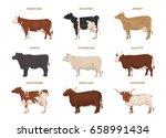 cows set  hereford  holstein ... | Shutterstock .eps vector #658991434