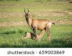 Red Hartebeest Calf Suckling...