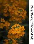Small photo of Beautiful vibrant apricot twist erysimum brassicaceae Spring wallflower